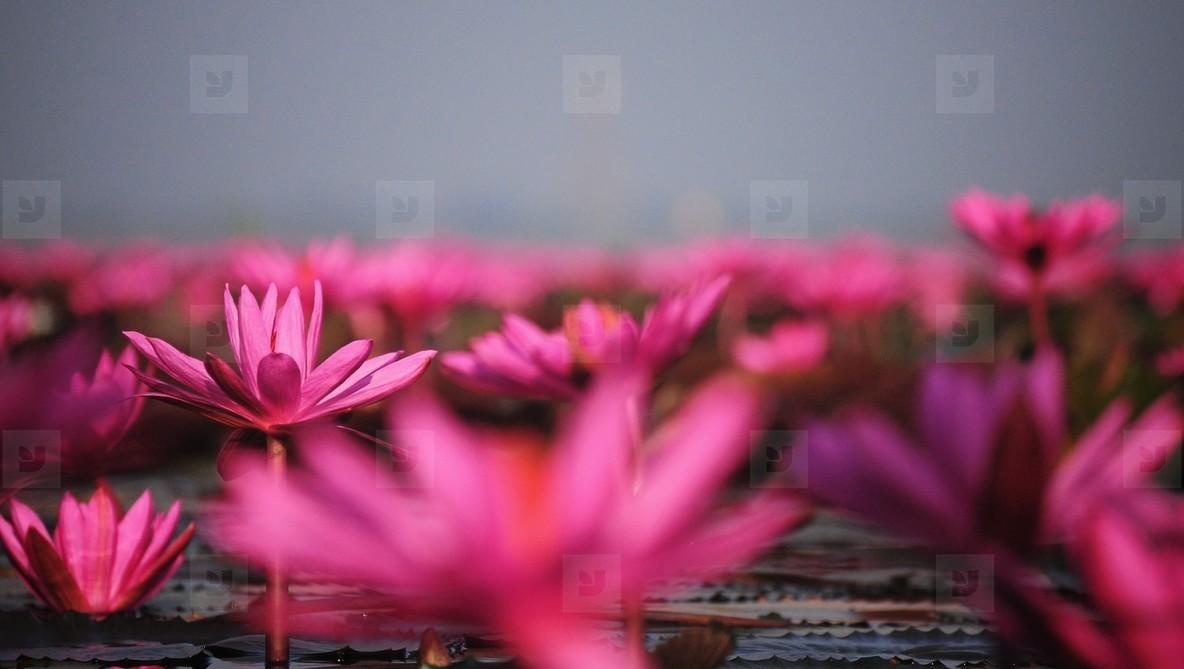 Lake of pink lotus  01