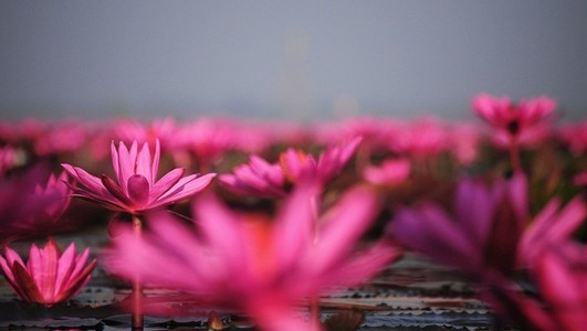 Lake of pink lotus 01