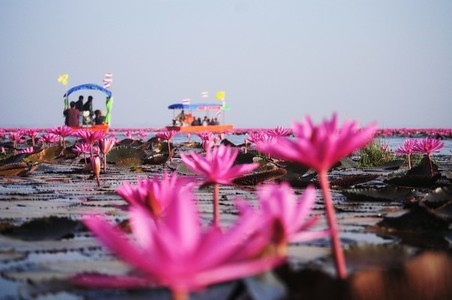 Lake of pink lotus 02