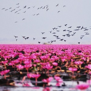 Lake of pink lotus 03