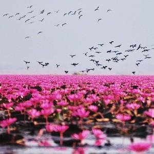Lake of pink lotus 03