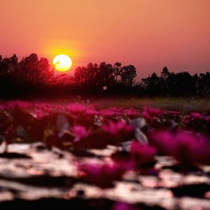 Lake of pink lotus 04