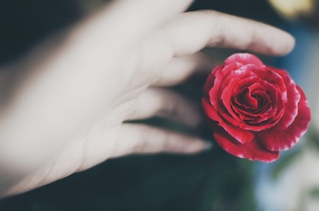 Female hand touching red rose