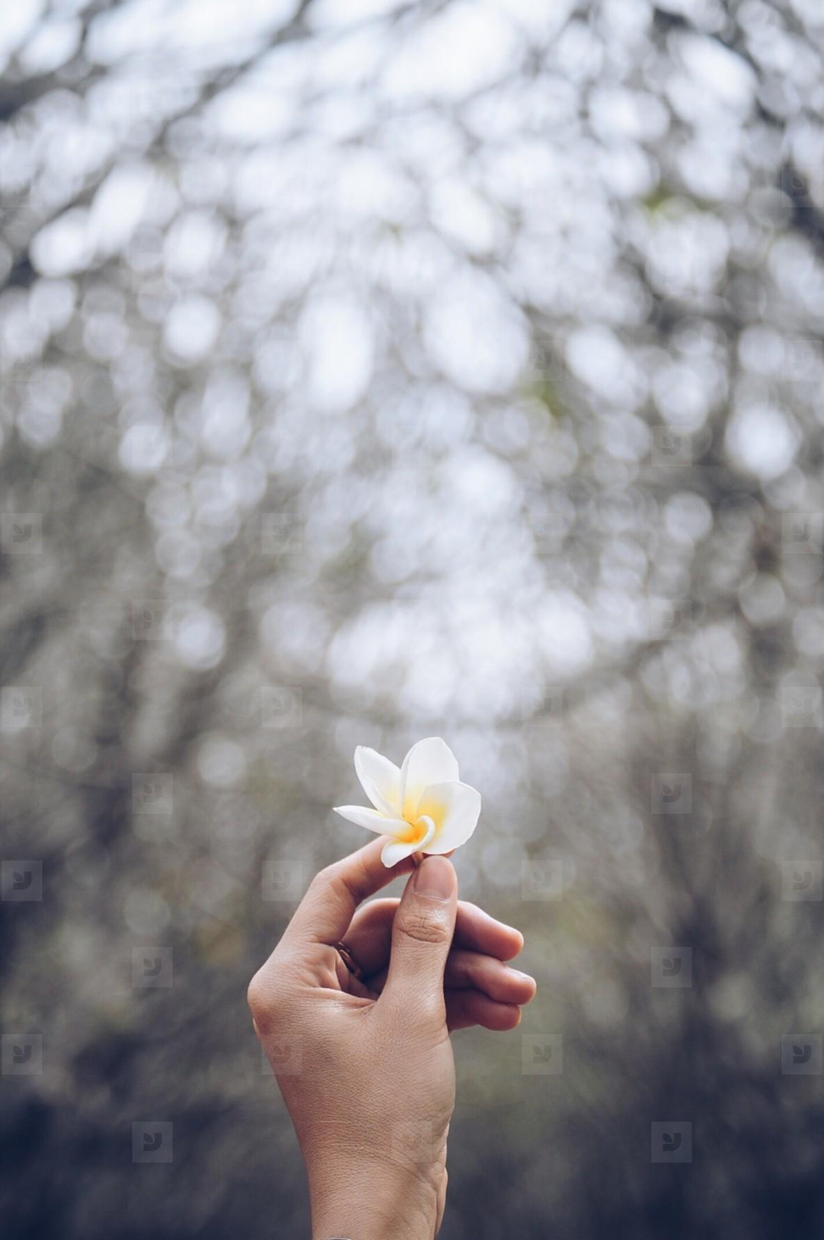 Plumeria flower in hold hand