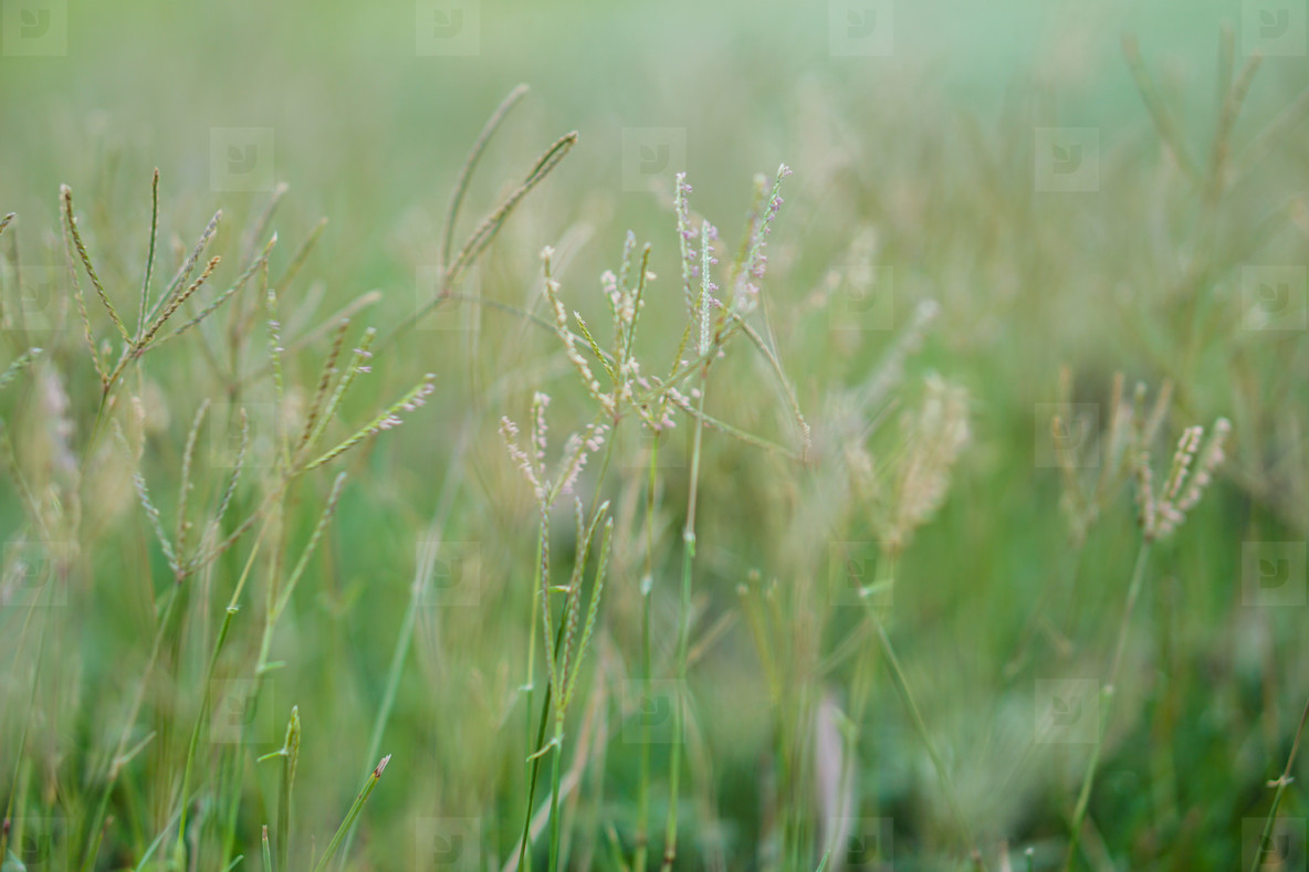Grass flowers in the field