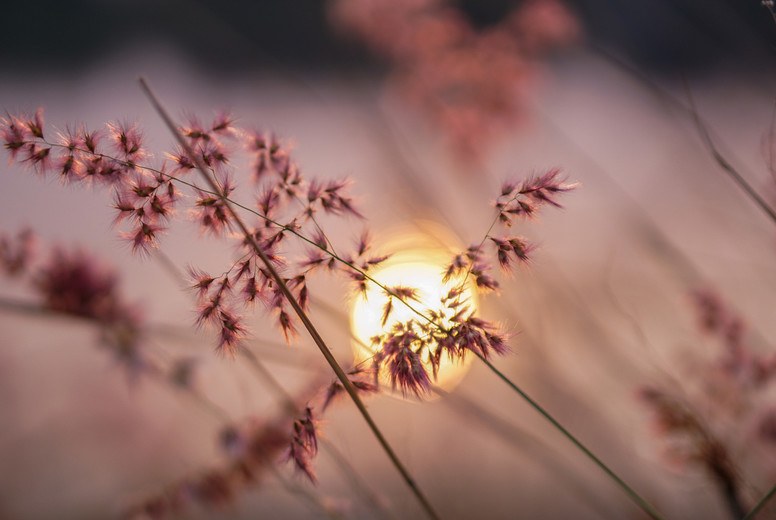 Grass flowers at sunset