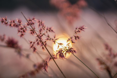 Grass flowers at sunset