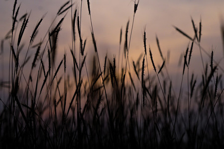 Silhouette of grass flowers