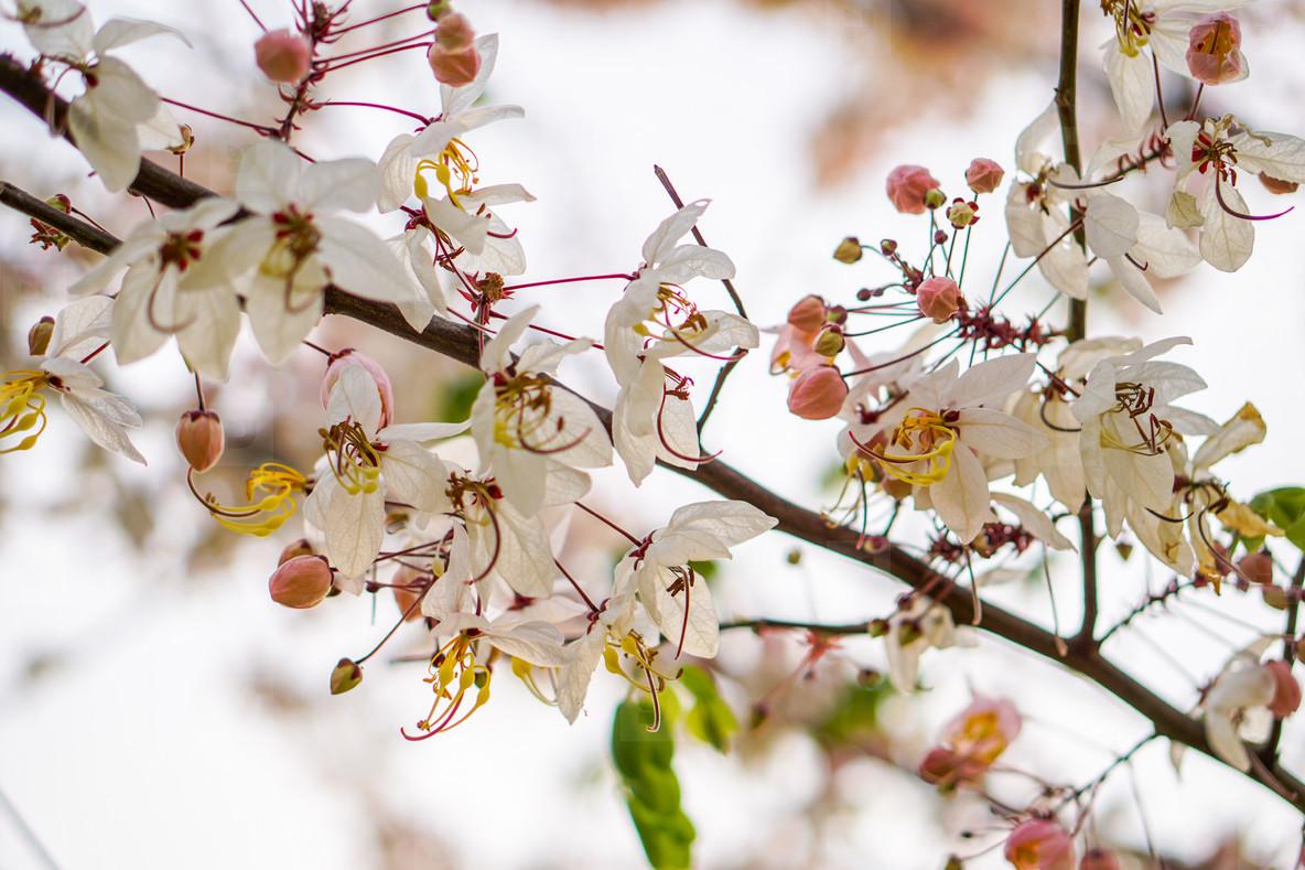 Spring Blossoms  02