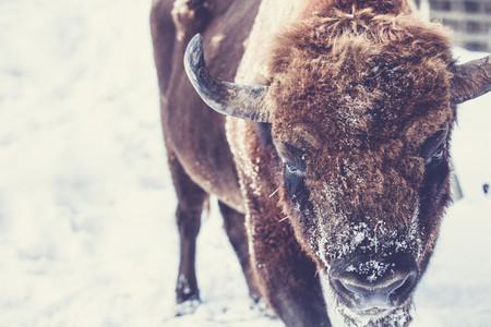 Bison Wisent