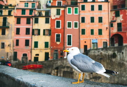 Sea Gull sitting on stone fence in Harbor of Riomaggiore with its traditional colorful buildings Italy