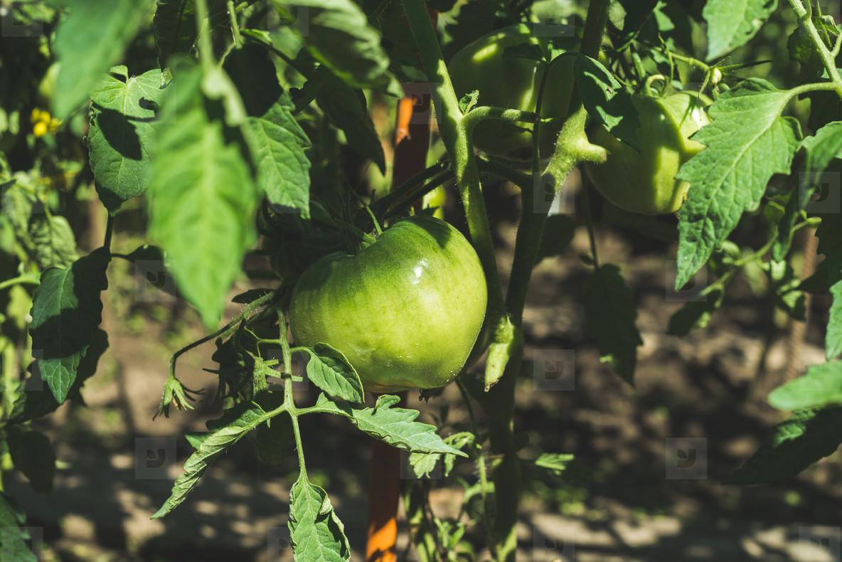Green unripe tomato on branch in vegetable garden