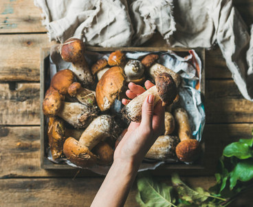 Woman039 s hand holding porcini mushroom over tray with penny buns