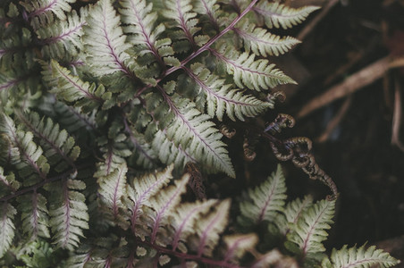 Japanese Painted Fern Frond