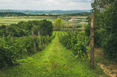 Wineyards in Tihany peninsula at lake Balaton  Hungary