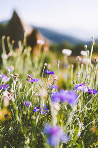 Purple flowers field