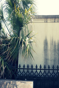 Palm Tree in St  Louis Cemetery