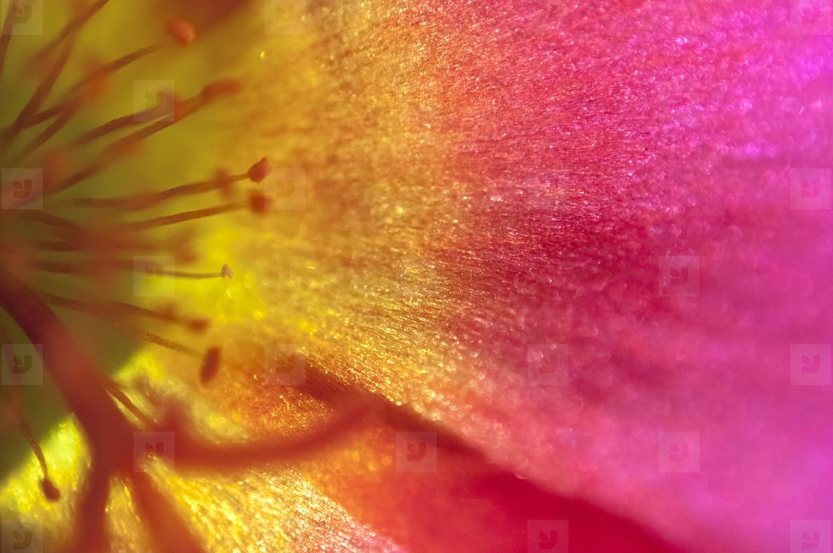 Purslane Flower
