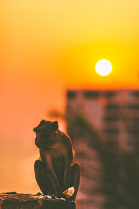 Monkey sitting in sunset