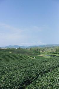 Tea plantation 01