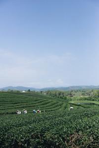 Tea plantation 03
