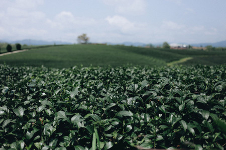 Tea plantation  04