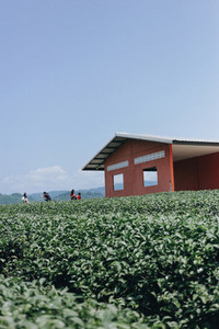 Tea plantation  05