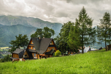 Village cottage and cows on green grass field  Zakopane  Poland