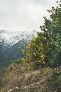 Trees with wild ripe oranges and snowy mountains  Alanya  Turkey