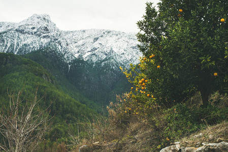 Trees with oranges in mountain garden and snowy peaks