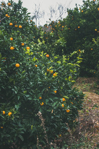 Orange trees with wild ripe oranges in mountain garden Alanya