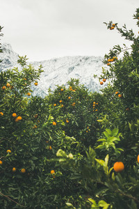 Trees with oranges in mountain garden  Dim Cay district  Alanya