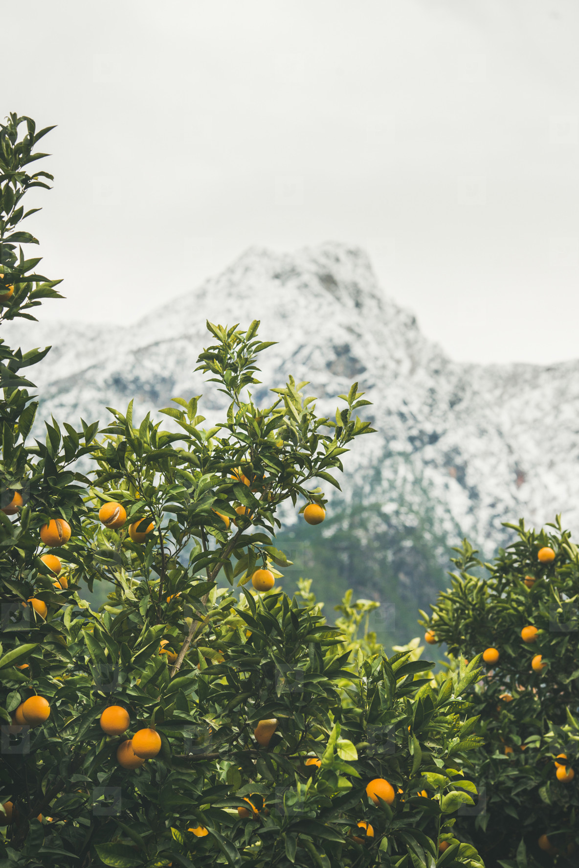 Orange trees with oranges in mountain garden  Dim Cay  Alanya