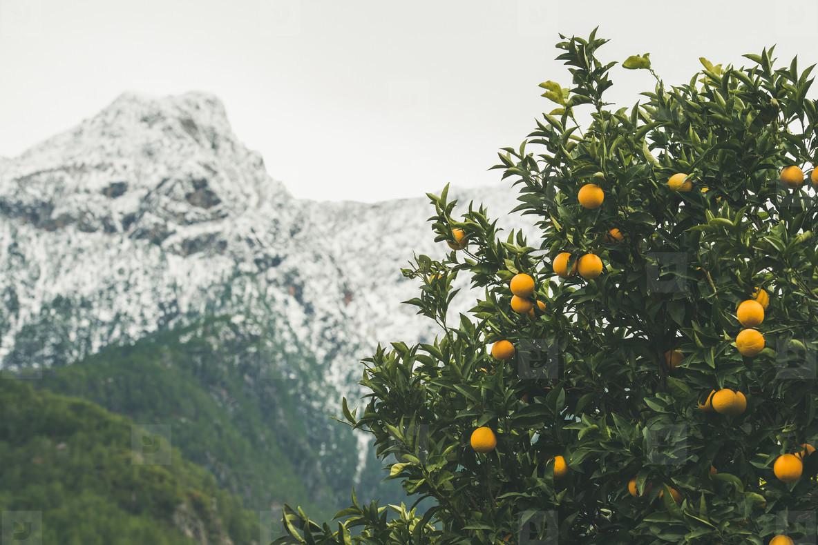 Orange trees with ripe oranges in mountain garden  Alanya  Turkey