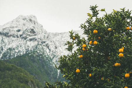 Orange trees with ripe oranges in mountain garden  Alanya  Turkey