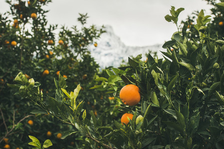 Orange trees with ripe oranges in the mountain garden  Turkey
