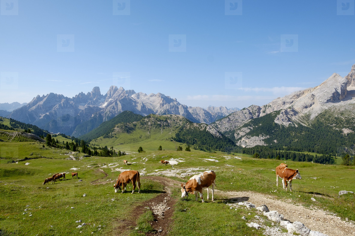 Cows over the mountain