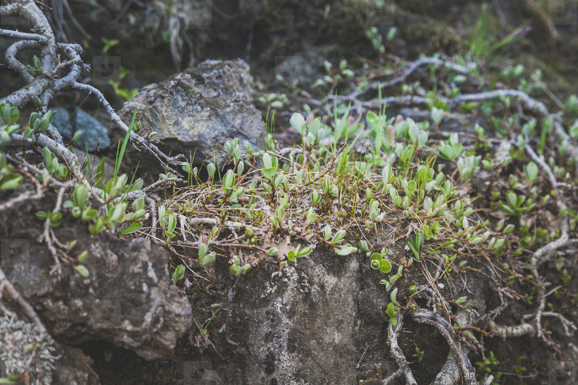 Small plants growing on volcanic
