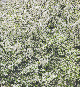 Blooming tree with white flowers  natural background or wallpaper