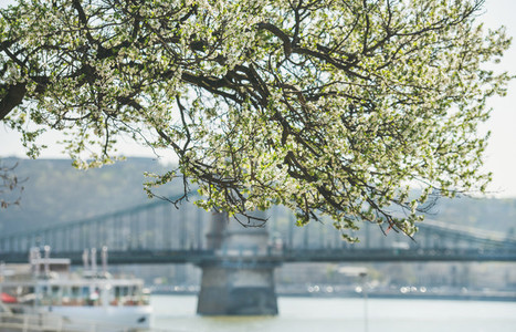 Blooming tree at Danube Pest embankment in Budapest