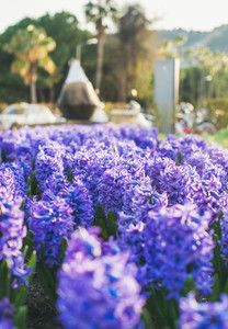 Blooming lilac hyacinths in the central street of Alanya  Turkey