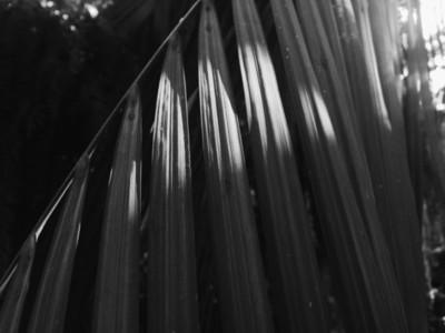 Black and White Leaf Palm