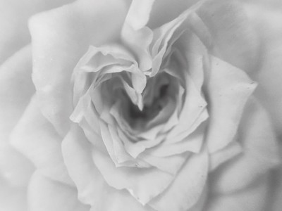Monochrome white rose flower