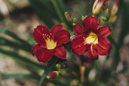 Deep Red Daylilies