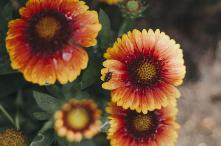 Gaillardia Friend