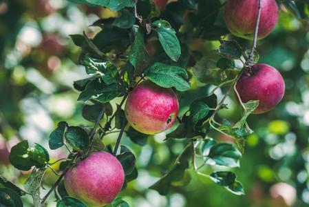 Fresh harvest apples on tree branch in garden