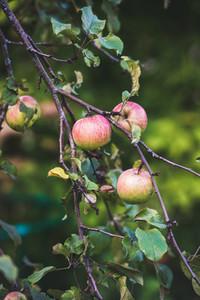 Fresh pink harvest apples on tree branch in garden