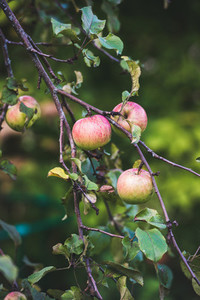 Fresh pink harvest apples on tree branch in garden