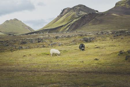 Icelandic 33