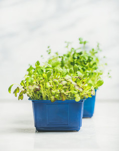 Fresh spring green live radish kress sprouts in blue pots